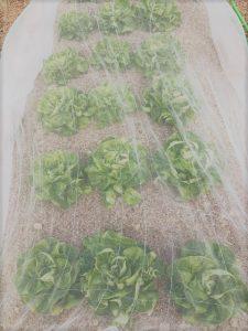 フォーレスト農園収穫