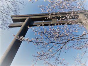 大鳥居と熊野桜